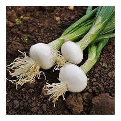 oignons blanc