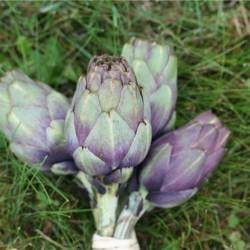 Artichaut violet opale bio