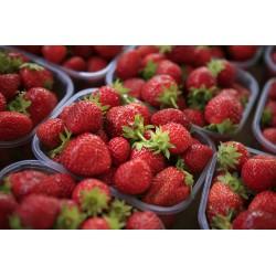 fraise bio